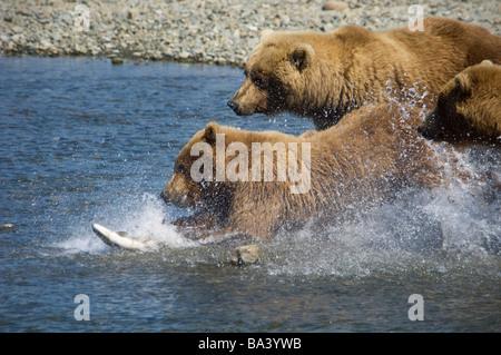 Mutter Braunbär und ihre Jungen jagen Lachs am Mikfik Creek in den Sommermonaten in Südwest-Alaska. - Stockfoto