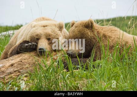 Braunbär-Sau und ihr junges Nickerchen ein auf einige Treibholz am McNeil River im Sommer in Südwest-Alaska. - Stockfoto