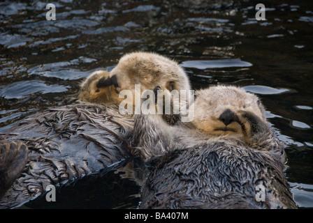Gefangenschaft zwei Seeotter halten Pfoten im Vancouver Aquarium in Vancouver, British Columbia Kanada gefangen - Stockfoto