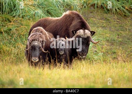 Moschusochsen Familie Portrait Captive Alaska Wildlife Conservation Center Yunan Alaska Spring - Stockfoto