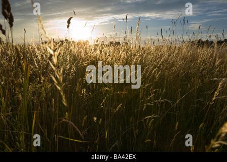 Sonnenuntergang über der Wildgräser aRGB - Stockfoto