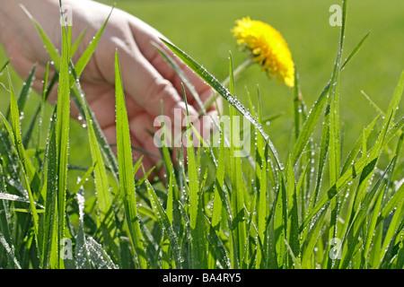 Grass und Tau. Löwenzahn (Taraxacum Officinale) - Stockfoto