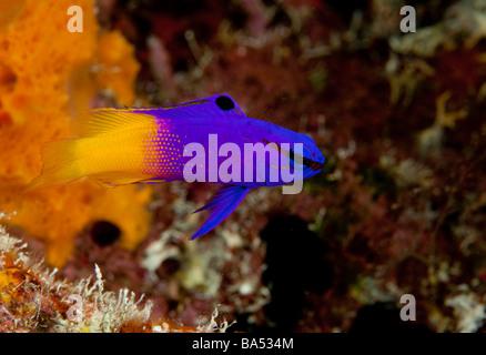 Nahaufnahme von einer Fee Basslet (Gramma Loreto) auf ein Riff in Bonaire. - Stockfoto