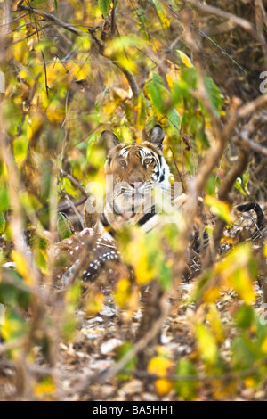 bengal tiger mit beute eine gefleckte rehe im maul stockfoto bild 49776737 alamy. Black Bedroom Furniture Sets. Home Design Ideas
