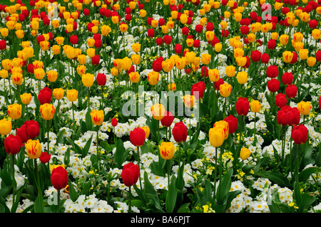 Bunten Blumenbeet mit Tulpen und Primeln auf Christs Stücke, Cambridge England UK - Stockfoto