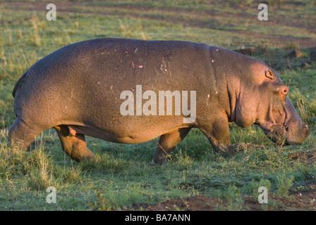 Hippo / Nilpferd Amphibius - Stockfoto
