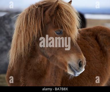 Islandpferd mit Winer Mantel, Island - Stockfoto