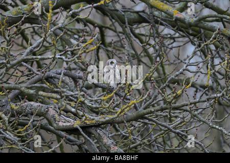 Eine kurze Eared Eule thront oben in einem Baum vermessen des Landes für Lebensmittel - Stockfoto