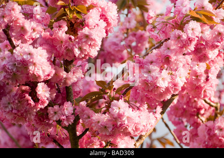 Pink Cherry Blossom. - Stockfoto