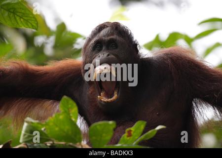 Porträt eines Orang-Utan Kabili Sepilok Rainforest Reserve Sabah Borneo - Stockfoto