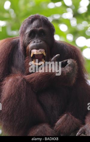 Grimassieren Pongo Pygmaeus Sepilok Rehabilitation Centre Sabah Borneo Orang-Utan - Stockfoto