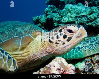 Grüne Schildkröte Kopf hautnah mit blauem Hintergrund und Korallen. - Stockfoto