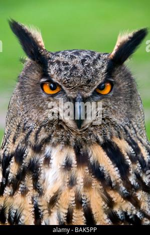 Kopf einer eurasische Adler-Eule, Latin Name Bubo Bubo - Stockfoto