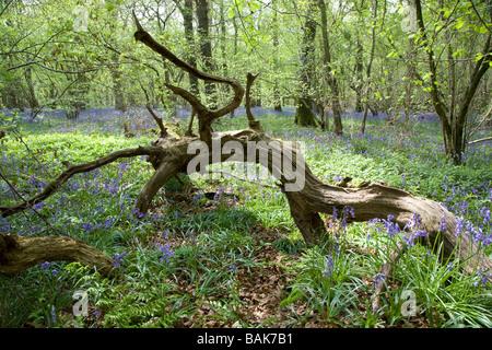 Umgestürzter Baum in einem Wald Bluebell, Frühjahr 2009 - Stockfoto
