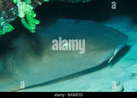Nurse Shark Ginglymostoma Cirratum Karibik Kuba - Stockfoto