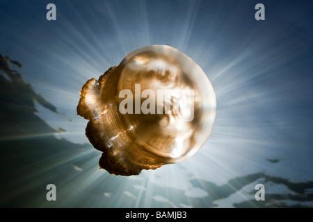 Mastigias Quallen im Gegenlicht Mastigias Papua Etpisonii Jellyfish Lake Mikronesien Palau - Stockfoto