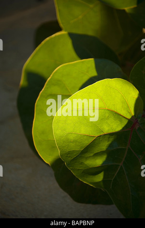 Tropischen grünen Blatt, Trinidad - Stockfoto