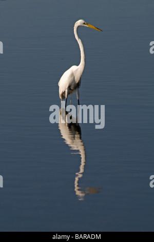 Reiher auf Merritt Island National Wildlife Refuge Titusville, Florida - Stockfoto