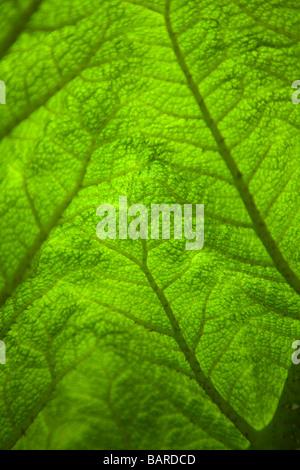Close up beleuchtetes Bild eines Blattes eines Gunnera Anlage zeigt die texure und lebendigen Grün der Pflanze, - Stockfoto