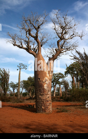 geschwollener stamm der baobab baum am stacheligen wald ifaty madagaskar stockfoto bild. Black Bedroom Furniture Sets. Home Design Ideas
