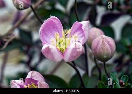 Clematis (Butterblume) Montana Rubens. Kletterer. Nahaufnahme des kleinen halb geöffnet blass rosa Blume - Stockfoto