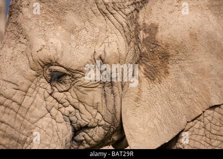 Afrikanischer Elefant Gesicht, Blair Drummond Safari Park, Stirling, Schottland - Stockfoto