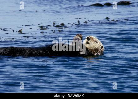 Südlichen Seeotter (Enhydra Lutris Nereis) schwebt in Elkhorn Slough, Kalifornien.