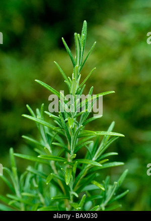 rosmarin rosmarinus officinalis stockfoto bild 25467451 alamy. Black Bedroom Furniture Sets. Home Design Ideas