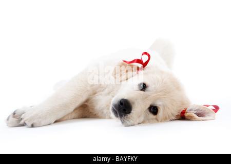 Müde süße Retriever Welpe Ruhe mit roten Schleifen - Stockfoto