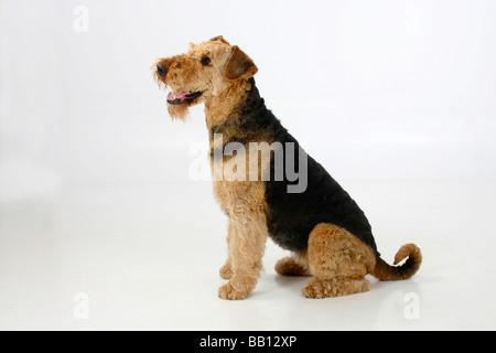 Airedale Terrier-Seite - Stockfoto