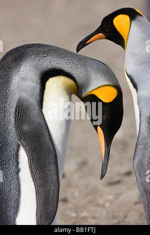 Antarktis, Südgeorgien, Salisbury Plain. König Pinguin beugt also Kumpel den Rücken in einem Paar Bonding-Ritual - Stockfoto