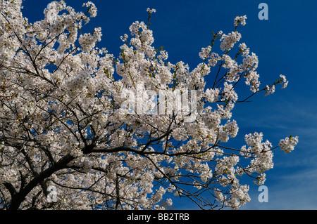 Zweig der japanischen Kirschbaum-Blüten vor blauem Himmel im Frühjahr Prunus Serrulata Sakura Somei-Yoshino im High - Stockfoto