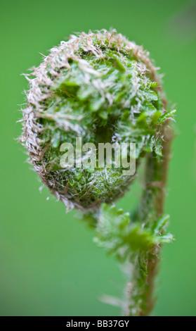 Lockige Farne. Macclesfield Wald, Macclesfield, Cheshire, Vereinigtes Königreich. - Stockfoto