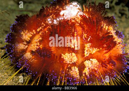Nahaufnahme von Feuer Urchin. - Stockfoto