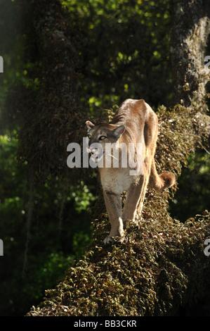 Florida Panther Puma Concolor Coryi Florida gefangen - Stockfoto