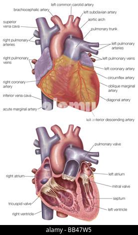 Abbildung des Herzens zeigen die Koronararterien (rot), die den ...