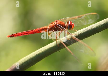 Männliche Scarlet Skimmer (aka Ruddy Marsh Skimmer / Crimson Darter) Crocothemis Servilia ruht auf Stamm - Stockfoto