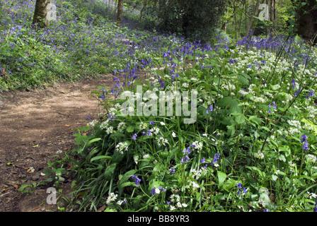 Bluebells und Bärlauch in Dunsford Holz in Devon, England - Stockfoto