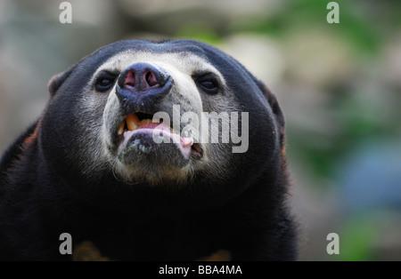 Nahaufnahme von einer Sonne Bär Helarctos malayanus - Stockfoto