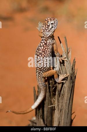 Zentralen saldiert Drache Eidechse Ctenophorus Nuchalis Agamidae Sitzstangen auf einem Toten Baumstumpf im Northern - Stockfoto