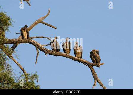 Ruppel s Griffon Rueppells Griffon Vulture abgeschottet Rueppellii SAMBURU NATIONAL RESERVE Kenia in Ostafrika - Stockfoto