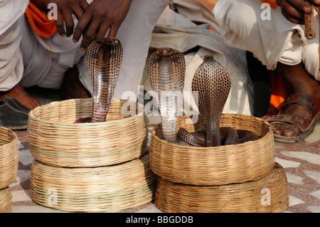 Kobras (Naja Naja), indischer Schlangenbeschwörer im Palast der Winde, Jaipur, Rajasthan, Nordindien, Asien - Stockfoto