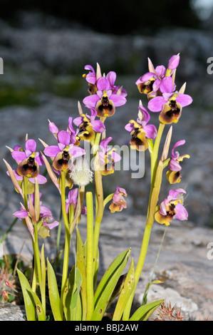 Rosa Biene Orchidee Ophrys Apifera wachsen wild in den Bergen der Sierra de Chiminea Andalusien Südspanien - Stockfoto