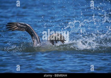 Brauner Pelikan Pelecanus Occidentalis Erwachsenen tauchen für Fische Port Aransas Texas USA Dezember 2003 - Stockfoto