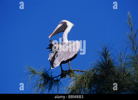Brauner Pelikan Pelecanus Occidentalis Erwachsenen putzen Sanibel Island Florida USA Dezember 1998 - Stockfoto