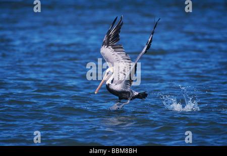 Brauner Pelikan Pelecanus Occidentalis Erwachsenen ausziehen Sanibel Island Florida USA Dezember 1998 - Stockfoto