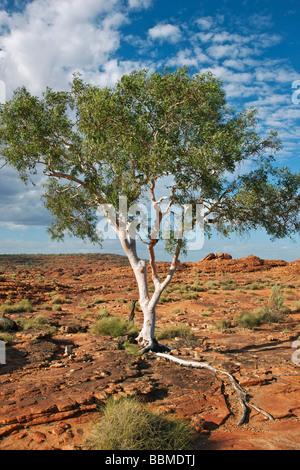 Australien, Northern Territory. Ein Ghost Gum mit einer freiliegenden Wurzel gedeiht in felsigem Gelände am Kings - Stockfoto