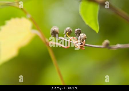 Makro Frühling Weinrebe Ranke, um Beeren - Stockfoto