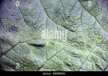 Chilenische Rhabarber, (Gunnera Tinctoria), Chile - Stockfoto