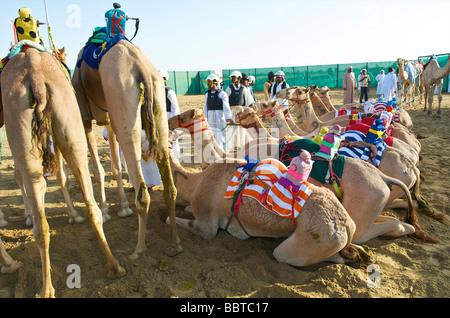 Dubai Kamele mit Roboter-Jockeys warten auf das Rennen - Stockfoto